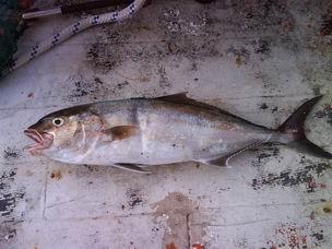 gofosfish